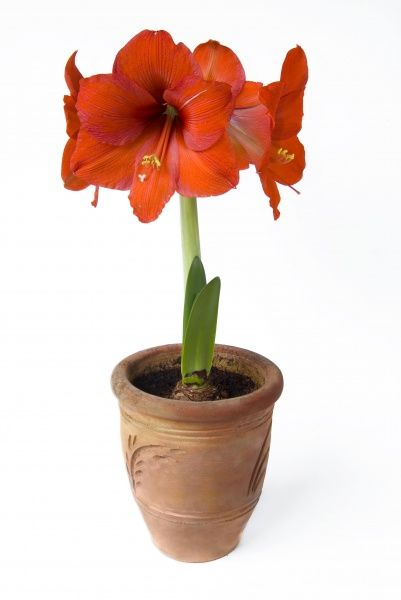 Amaryllis (Hippeastrum sp.) - open flowers in pot, Syndod, Gower, South Wales