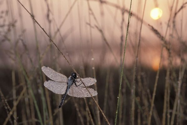 Dragonfly with morning dew, Black darter, Sympetrum danea, on rushes Moor, Swamp. dawn sun shining through wings Odonata two pairs of wings and large compound eyes