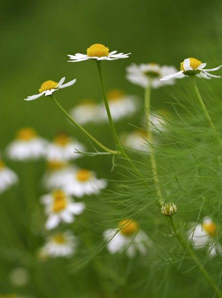 Chamomile and Fennel. Detail of flowers in a field. Green grass and leaves visible. Looks like daisy. Yellow centre and white petals. Low growing plant which is usually a foot in height. English garden plant used as a domestic medicine