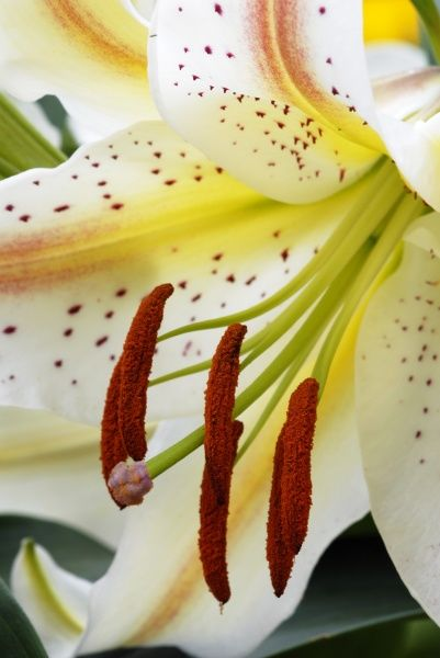 Lilium flower, commercial hybrid, stamen with anthers and filament, brown pollen, petal