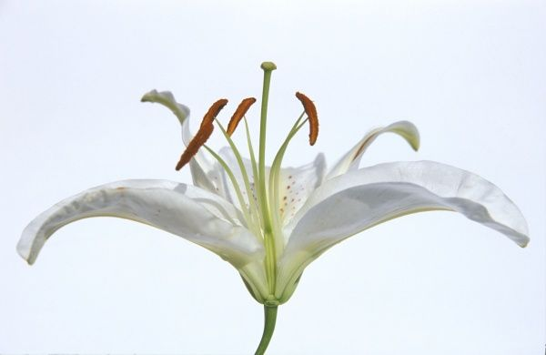 Cross section of flower head, lily, showing ovary, style and sticky stigma, pollen laden stamens, anther, petals, reproduction, cross pollination, monocotyledon, floral parts in multiples of three