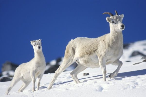 Dall sheep in snow. Dall sheep, winter in Alaska