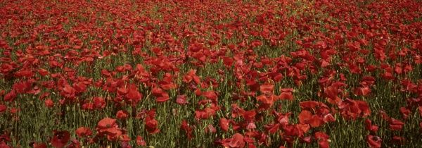 Field of poppies.Mass of flowers Tuscany Papaver rhoeas red
