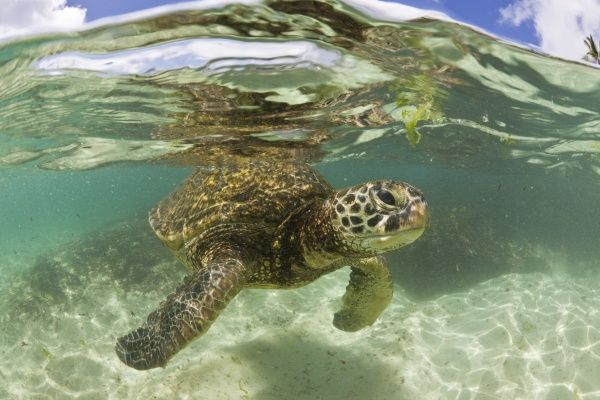 Green Turtle, Chelonia mydas, Oahu, Pacific Ocean, Hawaii, USA, underwater
