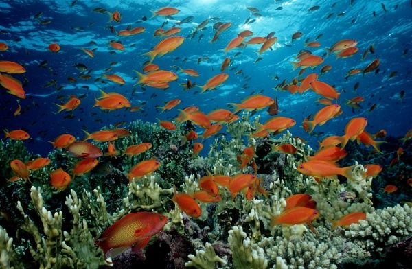 Colourful shoal of orange Harem Flag Basslet Pseudanthias squamipinni, croal reef in Red Sea