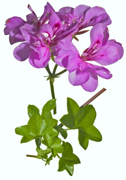 Ivy-leaved trailing pelargonium geranium,pink flowers and leaves, summer flower, trailing and vine-like brittle stems, ivy-shaped thick leathery leaves