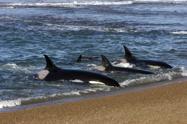 Killer whale; Orca.Orcinus orca.Orcas practicing intentional stranding