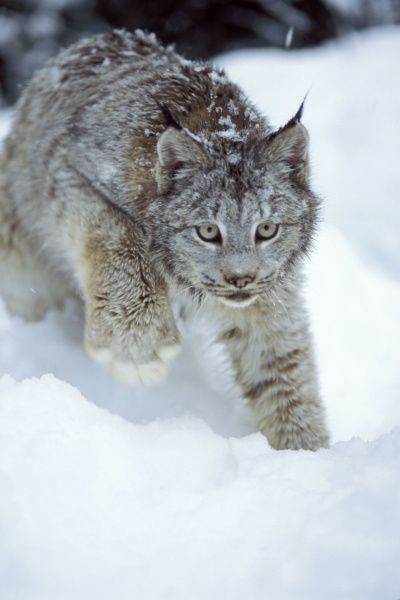 Lynx, Lynx lynx. Lynx (Lynx lynx) - in the snow in the foothills of the