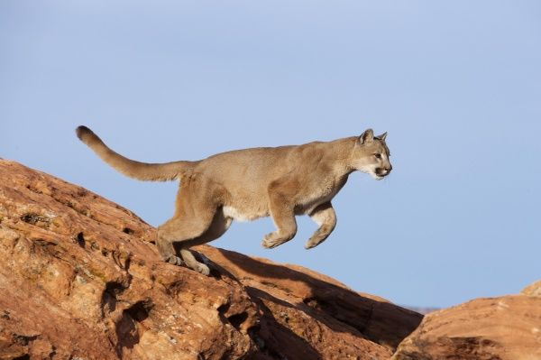Mountain lion (Puma concolor) - leaping, Sierra Nevada foothills, Mariposa, California
