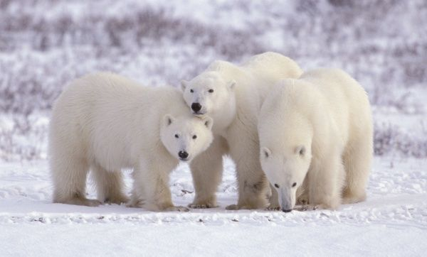 Polar Bear, Ursus maritimus. Churchill. Group of three young cubs standing in the snow. black nose