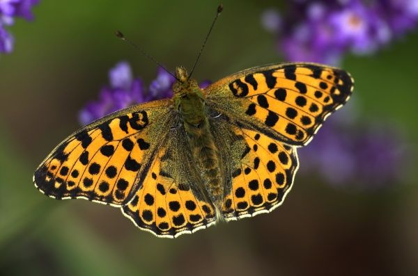 Queen of Spain Fritillary (Argynnis lathonia) - resting on flower with open wings