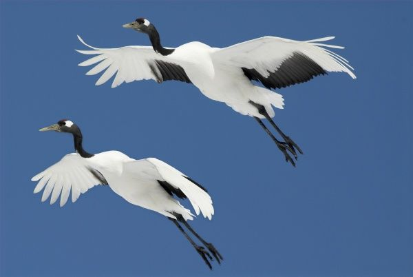 Red Crowned Crane (Grus japonensis) - pair in flight against blue sky, Hokkaido Island, digitally enhanced  also known as Japanese Crane, Order Gruiformes, Family Gruidae, 2nd rarest crane in world, non-migratory population here, large bird