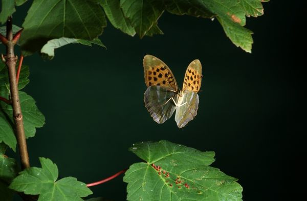 Silver-washed Fritillary (Argynnis paphia) - in flight