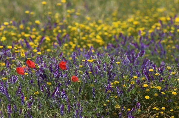 Wild flower meadow - Provence