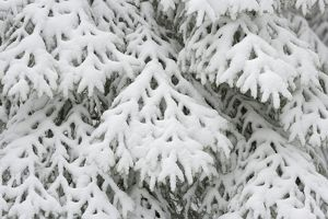 Abstract of snow covered fir