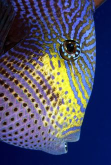 Black Durgon, type of triggerfish