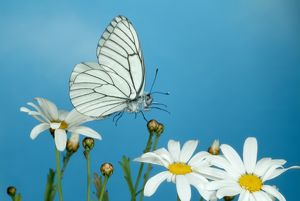 Black Veined White butterfly, Aperia crataegi