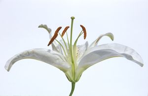 Cross section of lily flower