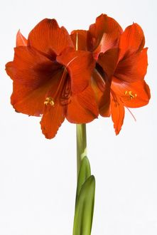 Cut out of Amaryllis in flower