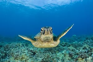 Green turtle, Chelonia mydas, Hawaii