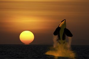 killer whale, Orcinus orc with sunset