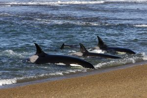 Killer whales hunting seals on beach