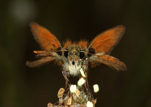 Large Skipper Butterfly, Ochlodes venatus