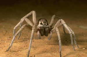 Prowling spider from Australia
