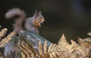 Red squirrel, Sciurus vulgaris in winter