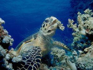 Sea turtle eating softcorals Eretmochelys imbricata