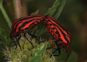 Shield or Minstral Bug, Graphosoma italicum