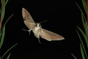 Silver-striped Hawk-moth, Hippotion celerio