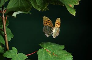 silver washed fritillary argynnis paphia