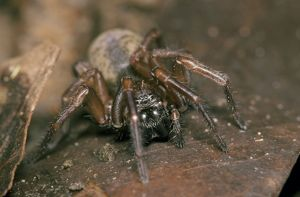 Spider, Clubiona corticalis