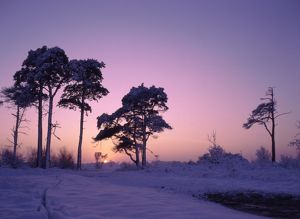 Tall Pines in Winter sunset